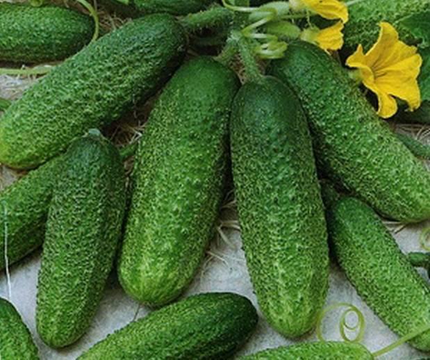 Описание сорта огурцов Трилоджи, особенности выращивания и ухода