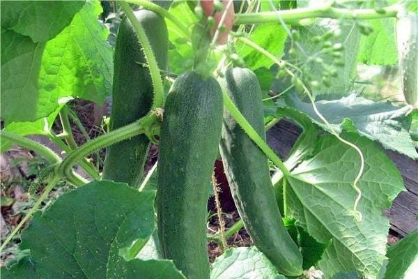 Огурец альянс: характеристика и описание сорта, выращивание и отзывы дачников с фото