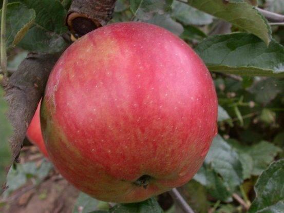 Яблоня вкусного высокоурожайного сорта айдаред