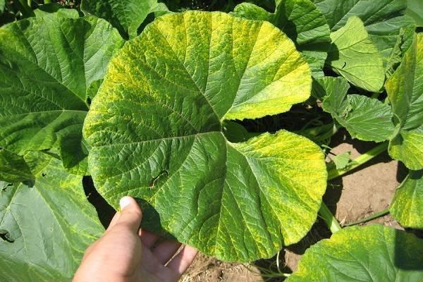 Причины, виды и лечение хлороза листьев огурца