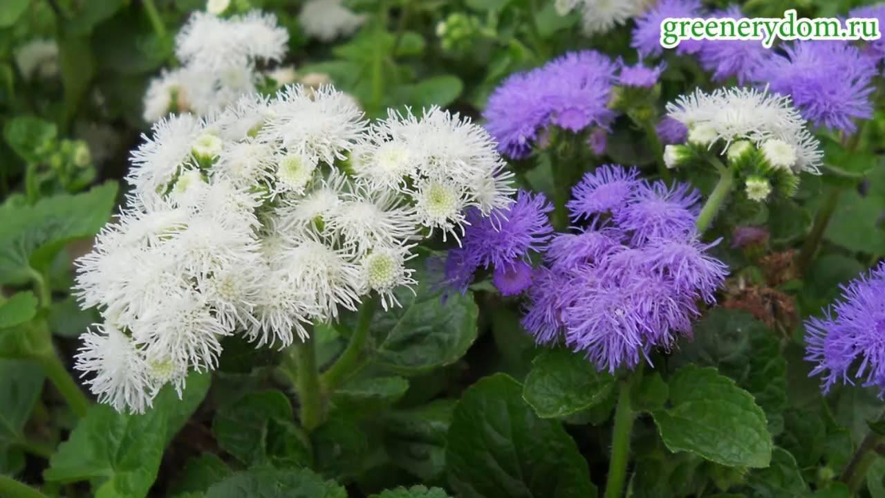 Агератум - фото, выращивание из семян, посадка и уход в открытом грунте, описание, размножение