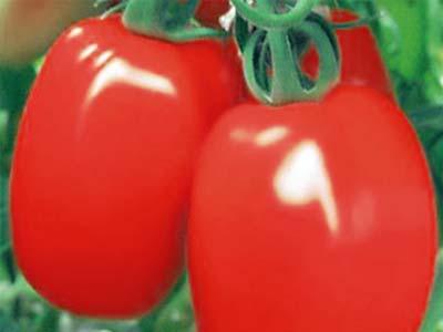 Сорт томатов великосветский отзывы