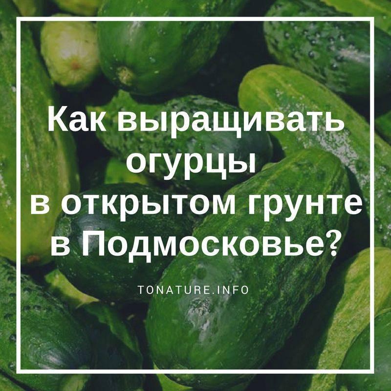 Особенности выращивания огурцов в открытом грунте в Подмосковье