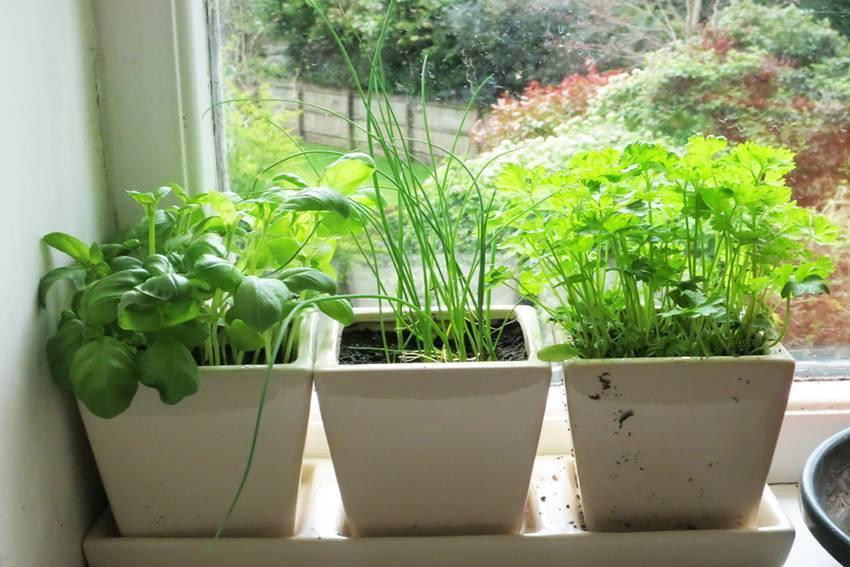 Как правильно вырастить петрушку на гидропонике и сколько она растет