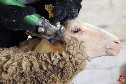 Технология стрижки овец