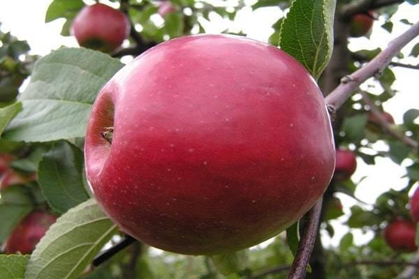 Морозоустойчивая яблоня память исаева