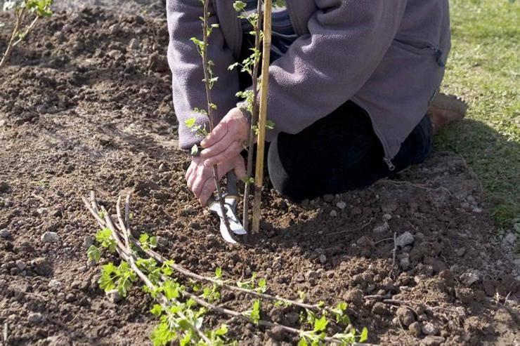 Инструкция как сажать смородину весной для начинающих