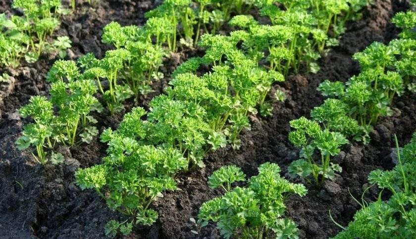От чего зависит срок посева петрушки? когда сажать семена в открытый и защищенный грунт в разных регионах?