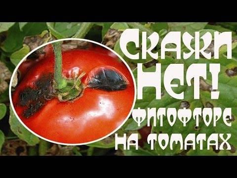 Почему чернеют помидоры на грядках и в теплице и как их лечить