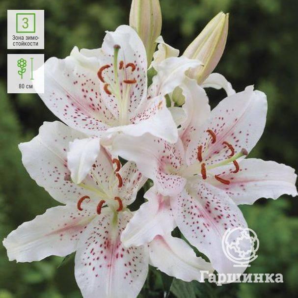 Азиатские лилии — сорта и названия, уход и выращивание
