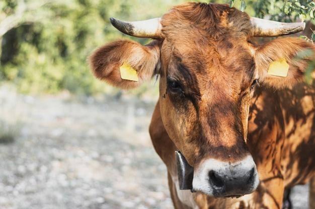 Корова съела пакет, тряпку, метал, землю (что делать?)
