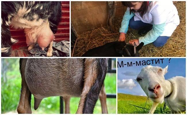 Оспа у коров, овец и коз: симптомы, лечение и профилактика