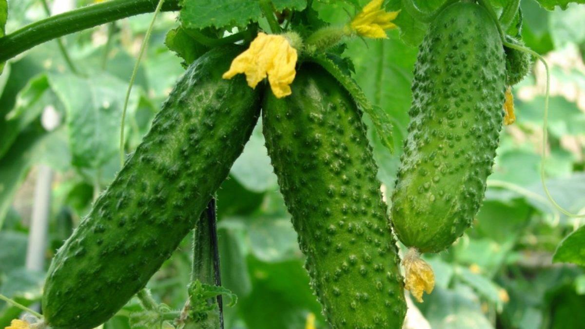 Сорта огурцов для засолки и консервирования