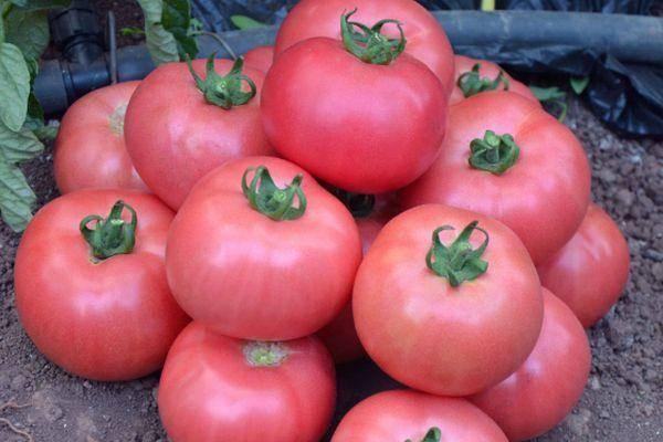 Удостоившийся похвалы многих садоводов — томат малиновый ожаровский: описание помидоров