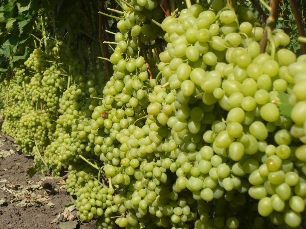 Виноград аркадия: описание сорта, посадка и уход