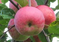 Слава победителям яблоня: описание и характеристика сорта