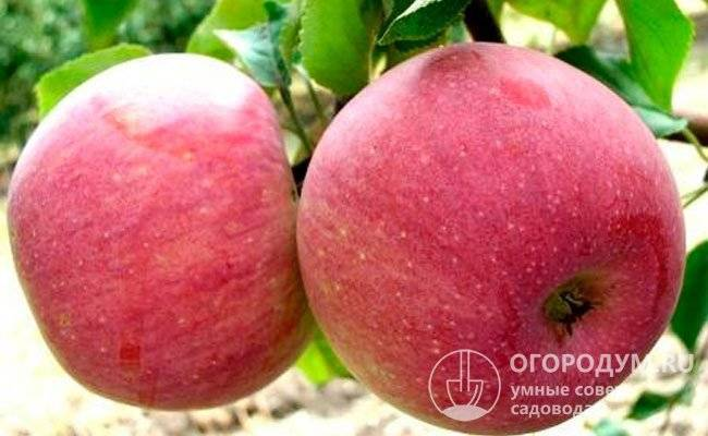 Описание сорта яблони чудное, отзывы и правила выращивания сорта