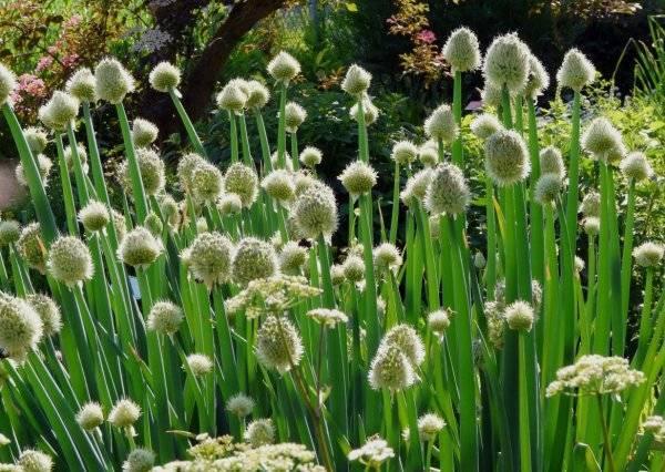 Посадка и выращивание лука-батун семенами в открытый грунт