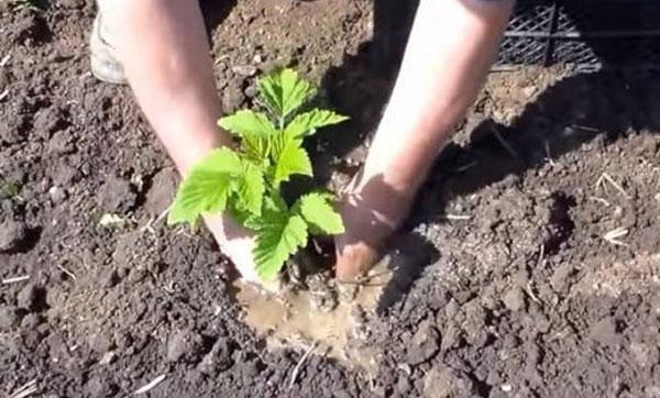 Как пересаживать малину на новое место осенью правильно?