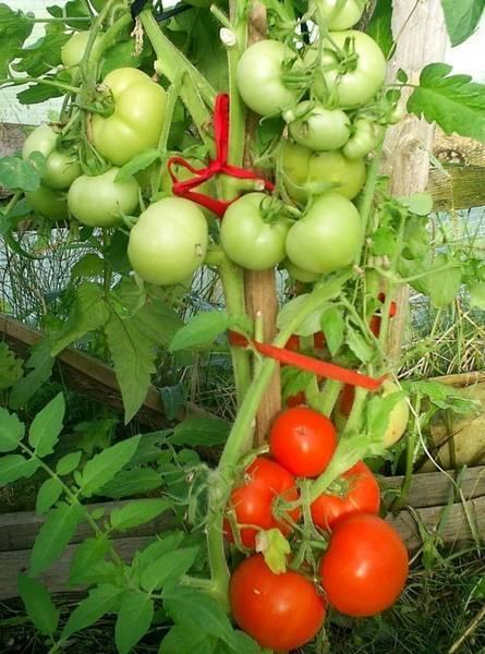 Выносливый и урожайный томат «снегопад» f1 — описание сорта, происхождение, особенности выращивания