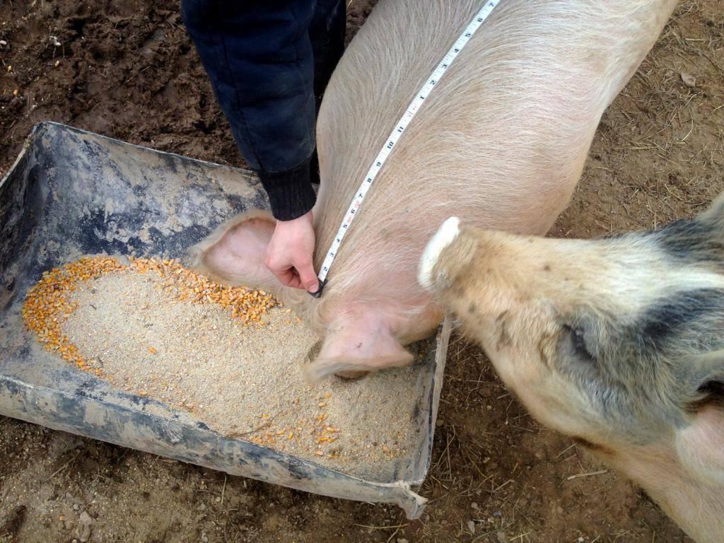 Стимуляторы роста для свиней: виды, рейтинг производителей и правила выбора