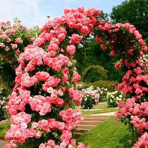 Описание розы розариум ютерсен