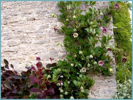 Кобея: выращивание из семян, посадка и уход в открытом грунте + фото