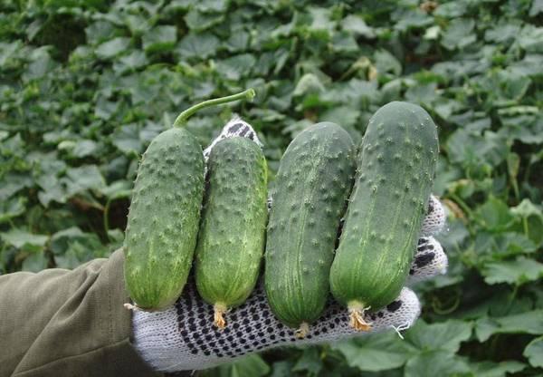 Лучшие сорта огурцов на 2020 год: самые вкусные и урожайные