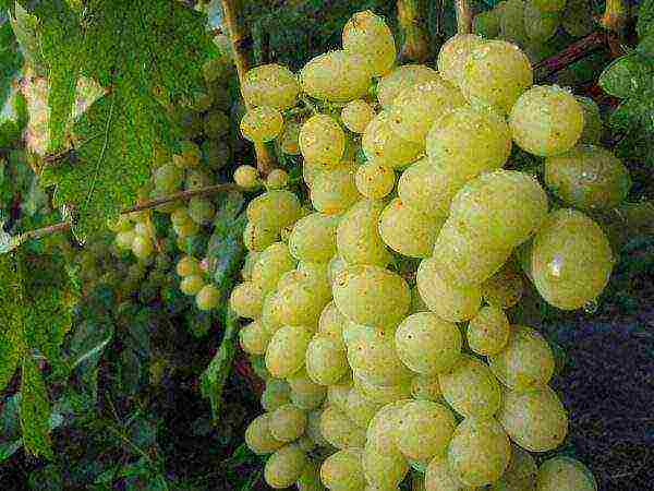 Правила выращивания и ухода за сортом винограда ланселот