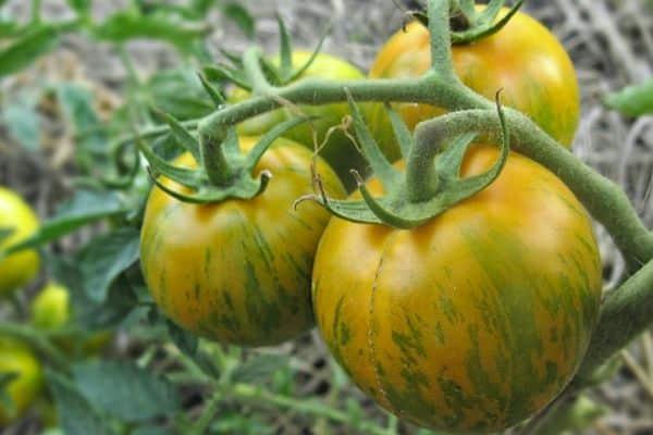 Нетребовательный в уходе, универсальный по применению и просто замечательный сорт томата «толстый джек»