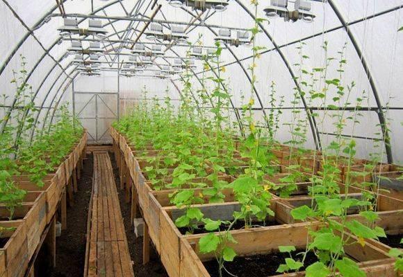 Как выращивать и ухаживать за огурцами в теплицах