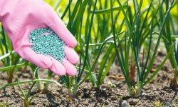 Почему гниет лук – основные причины и способы спасения урожая