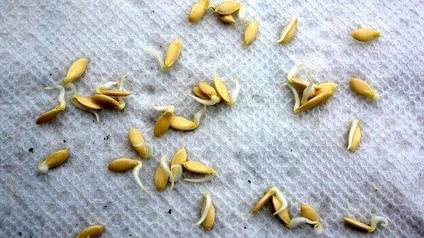 Характеристика и описание гибрида огурца амур f1, выращивание и уход