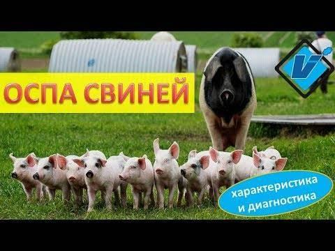 Болезни свиней: 130 фото симптомов, видео лечения и советы ветеринаров по профилактике самых опасных заболеваний