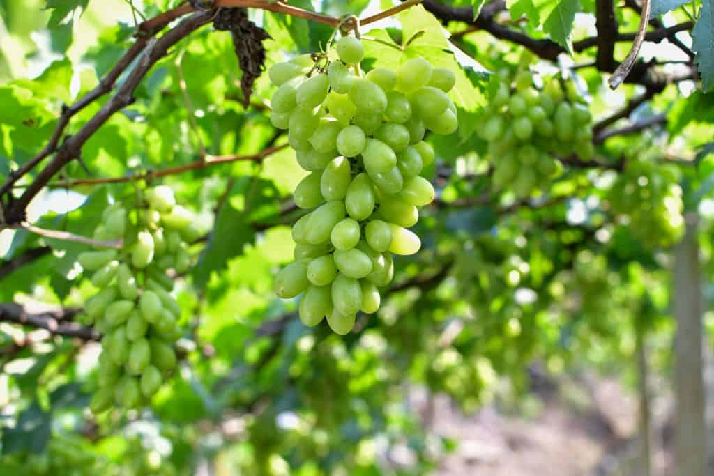 Тонкости ухода и выращивания винограда сорта тимур