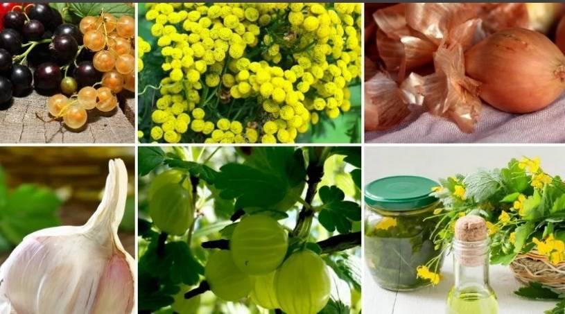 Чем можно обработать свеклу от вредителей, химические и народные средства для борьбы с ними