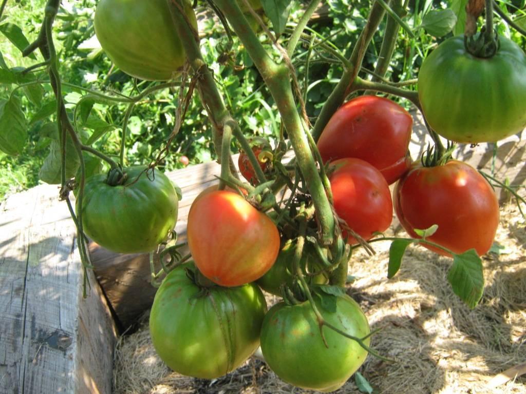 Томат самохвал: описание и характеристика сорта, урожайность с фото