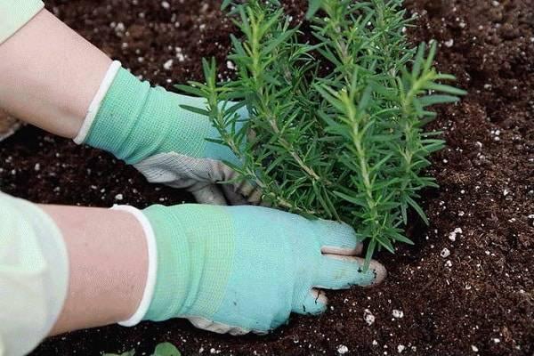 Розмарин: выращивание в открытом грунте в Ростовской области