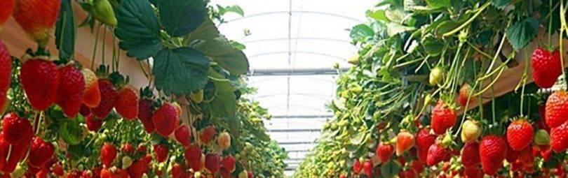 Выращивание клубники как сезонный заработок — все секреты фермерского бизнеса