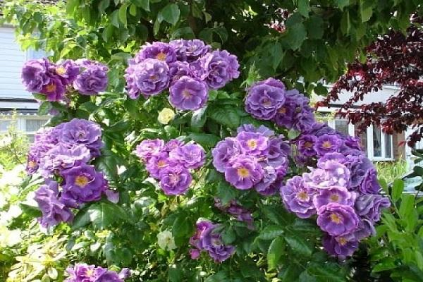 Роза рапсодия ин блю (rhapsody in blue) — описание сорта шраба