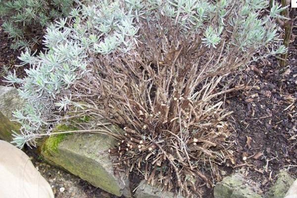 Размножение лаванды черенками весной, летом и осенью: правила черенкования