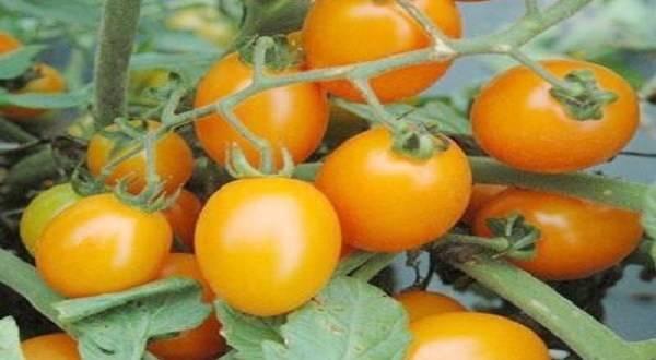 Томаты черри для теплиц и открытого грунта, самые сладкие и урожайные
