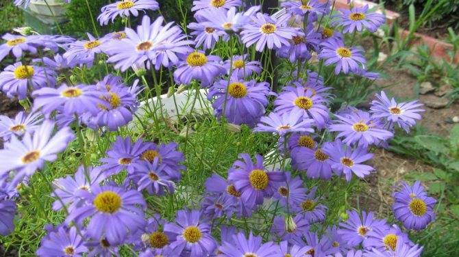 Брахикома: описание сорта и 6 шагов агротехники