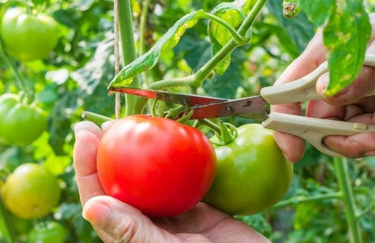 Сорт с притягательным названием и необыкновенным вкусом — томат «райское наслаждение»: выращиваем и дегустируем