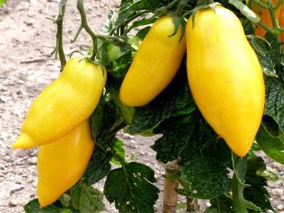 Описание и характеристика экзотического томата банановые ноги