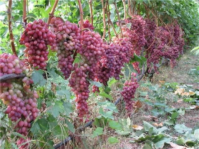 Описание сорта винограда кишмиш 342, его плюсы и минусы, советы по выращиванию и уходу