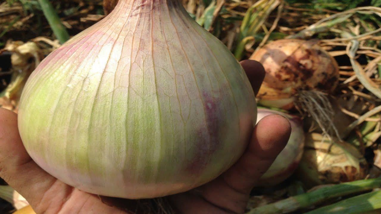 Секреты выращивания лука эксибишен из семян и севка. почему овощ может не всходить?