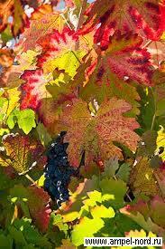 Как спасти замёрзший виноград: методы восстановления и советы опытных виноградарей