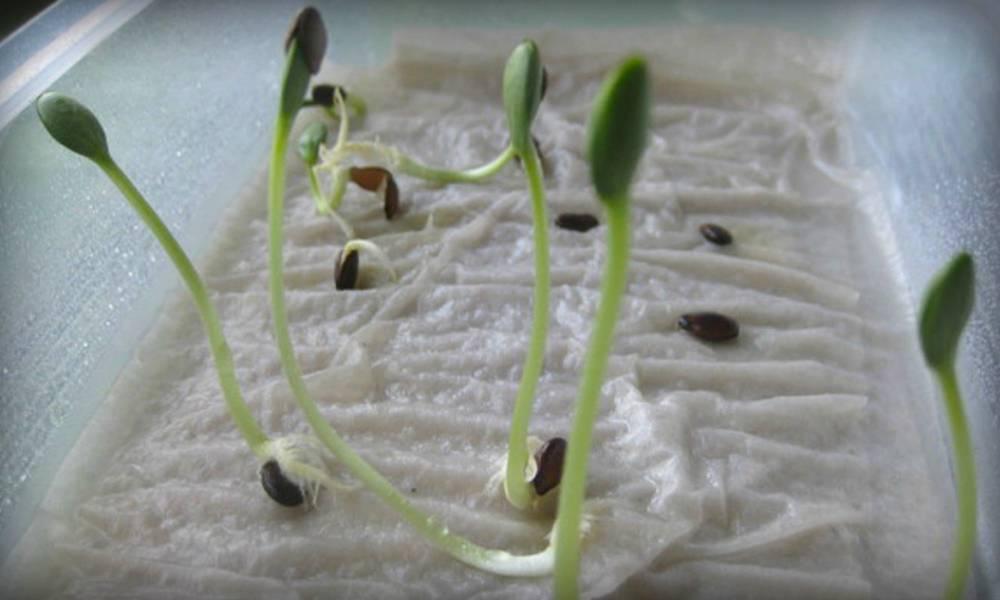 Как правильно и быстро прорастить семена огурцов для посадки в домашних условиях