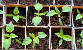 У перца скручиваются листья: что делать, чем лечить